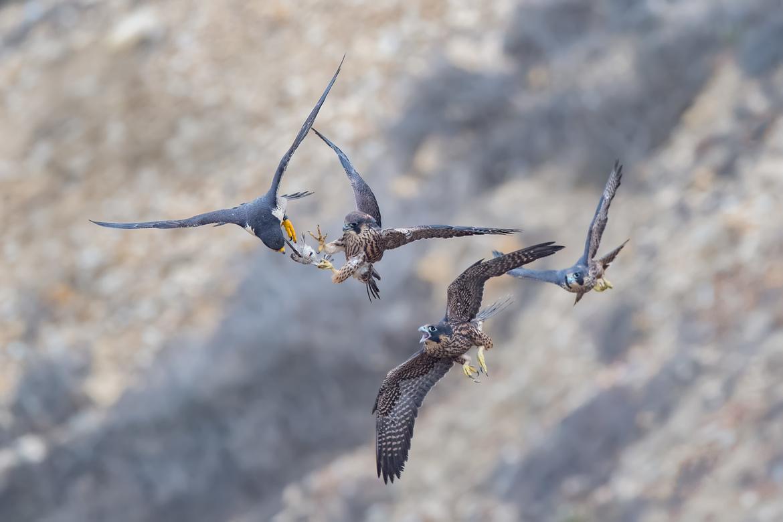 peregrine falcon, peregrine photos, falcon photos, California birds, birding in California, falcons in California, California wildlife, California wildlife photos, California bird photos