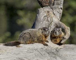marmot, marmot photos, Grand Teton National Park, Grand Teton wildlife, marmots in Grand Teton, Wyoming wildlife, national parks, national parks photos, national parks wildlife