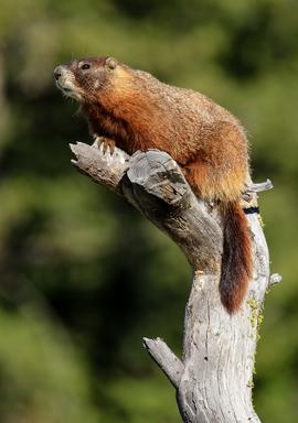 marmot, marmot photos, grand teton national park, grand tetons, wildlife in the tetons