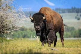bison, bison photos, bison images, buffalo, buffalo photos, buffalo images, Grand Teton wildlife, Grand Teton wildlife images, united states wildlife, Grand Teton National Park