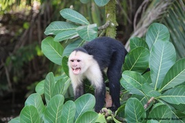white headed capuchin, capuchin, capuchin monkey, white headed capuchin photos, capuchin photos, capuchin monkey photos, costa rica wildlife, costa rica wildlife photos, Sierpe River, Sierpe River photos, Sierpe River wildlife photos