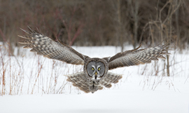 Grid flying great gray owl