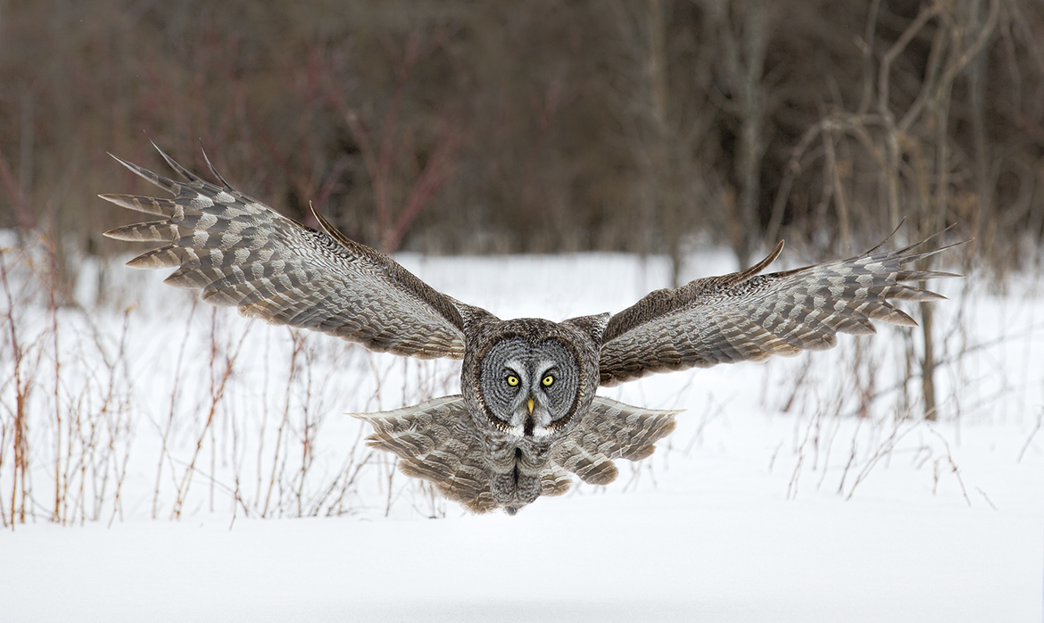 great gray owl, great gray owl photo, great gray owl pictures, Canada wildlife, Canada, birding in Canada, Whitby wildlife, owls in Canada