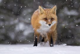 Grid red fox