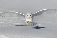 snowy owl, snowy owl photos, owl, owl photos, birds in Canada, owls in Canada, snowy owls in Canada, Canada wildlife, Ontario birds, Ontario