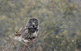 Grid great gray owl in winter snow