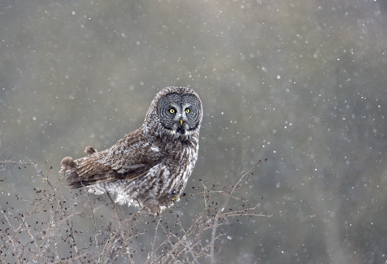 great gray owl, great gray owl photos, Canada wildlife, Canada birds, Canada owls, Whitby