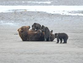 brown bear, grizzly bear, brown bear photos, grizzly bear images, grizzly nursing, Lake Clark, bear cub, bear cub photos, brown bear cub, grizzly cub, cubs nursing, photos of cubs nursing, Alaska wildlife, Alaska bears, Alaska photos