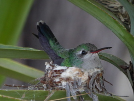 humming bird, humming bird images, humming bird photos, united states wildlife, united states birds, american hummingbirds, arizona birds, arizona wildlife