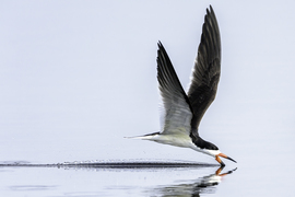 black skimmer, black skimmer photos, black skimmer images, Florida birds, st marks national wildlife refuge