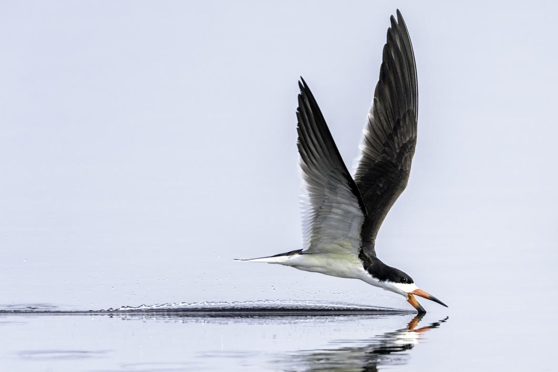 black skimmer, black skimmer photos, black skimmer images, Florida birds, st marks national wildlife refuge