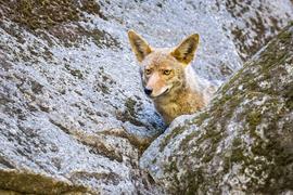 coyote, coyote photos, coyotes in Yosemite, Yosemite National Park, photos of coyotes in Yosemite, wildlife in yosemite national park, animals in yosemite, photos of animals in yosemite, pictures of Yosemite