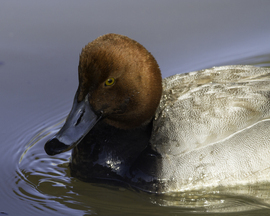 redhead duck, redhead duck photos, ducks in Pennsylvania, birding in the US, united states birds