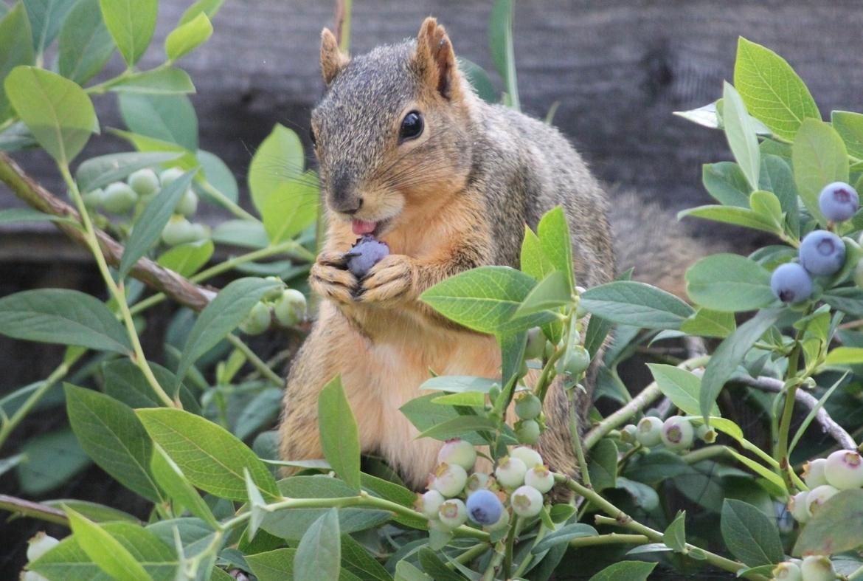 squirrel, american squirrel, squirrel eating blueberries, backyard squirrels, squirrel photos, squirrel images