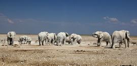 elephant, african elephant, elephant photos, african elephant photos, Namibia wildlife, Namibia wildlife photos, africa wildlife photos, africa wildlife, african safari photos, Etosha National Park, Etosha wildlife