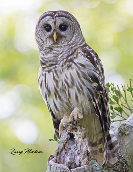 owl, owl photos, barred owl, barred owl photos, united states wildlife, united states wildlife photos, birds in maryland, owls in maryland, owls in dorchester county