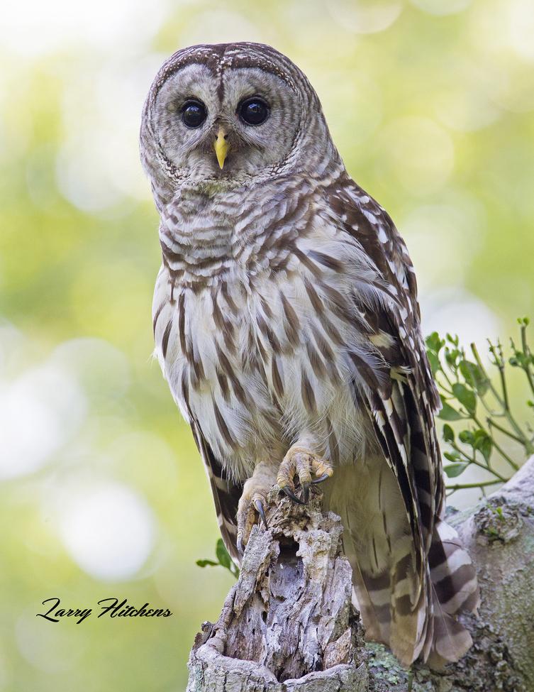 owl, owl photos, barred owl, barred owl photos, united states wildlife, united states wildlife photos, birds in maryland, owls in maryland, owls in dorchester county