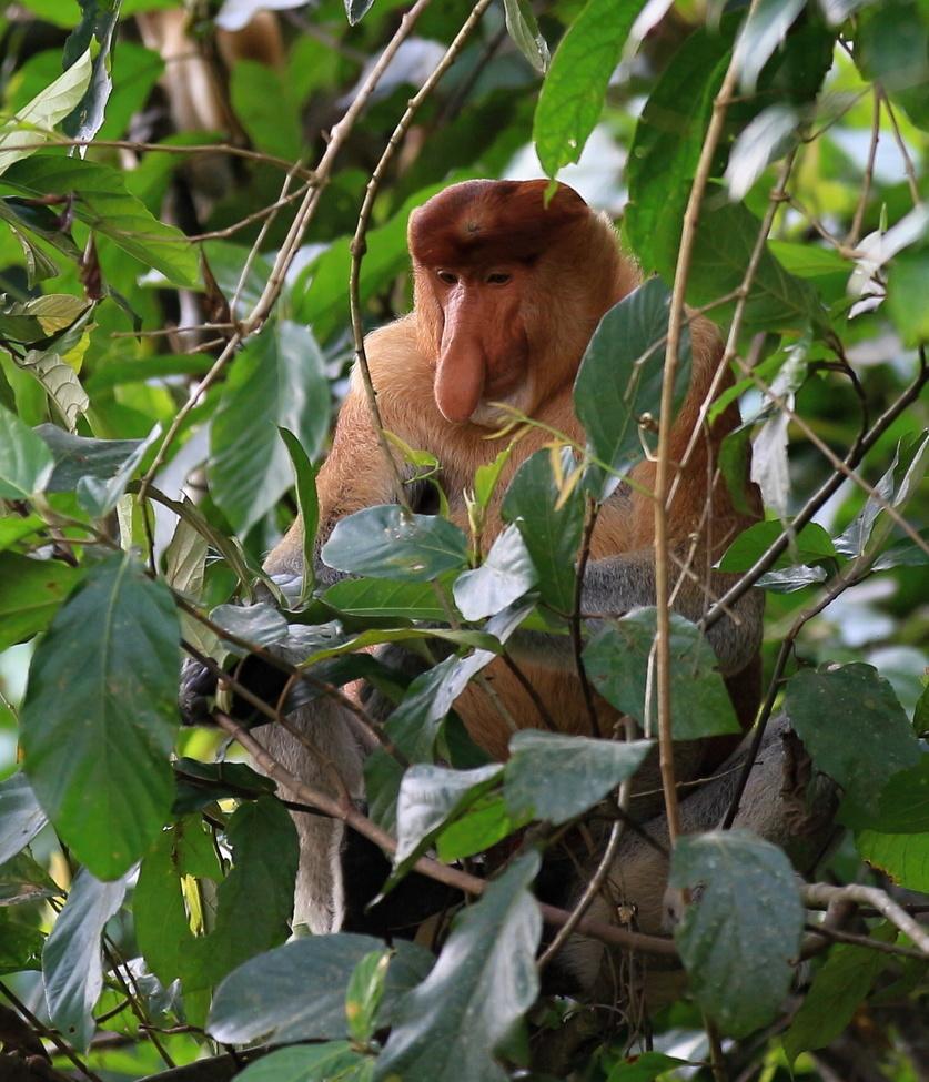 proboscis monkey, proboscis monkey photos, wildlife in Malaysia, primates in Malaysia, Kinabatangan River, wildlife in Kinabatangan