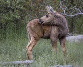 moose, baby moose, moose photos, baby moose photos, Grand Teton National Park, Grand Teton photos, Grand Teton National Park wildlife, moose in Grand Teton National Park