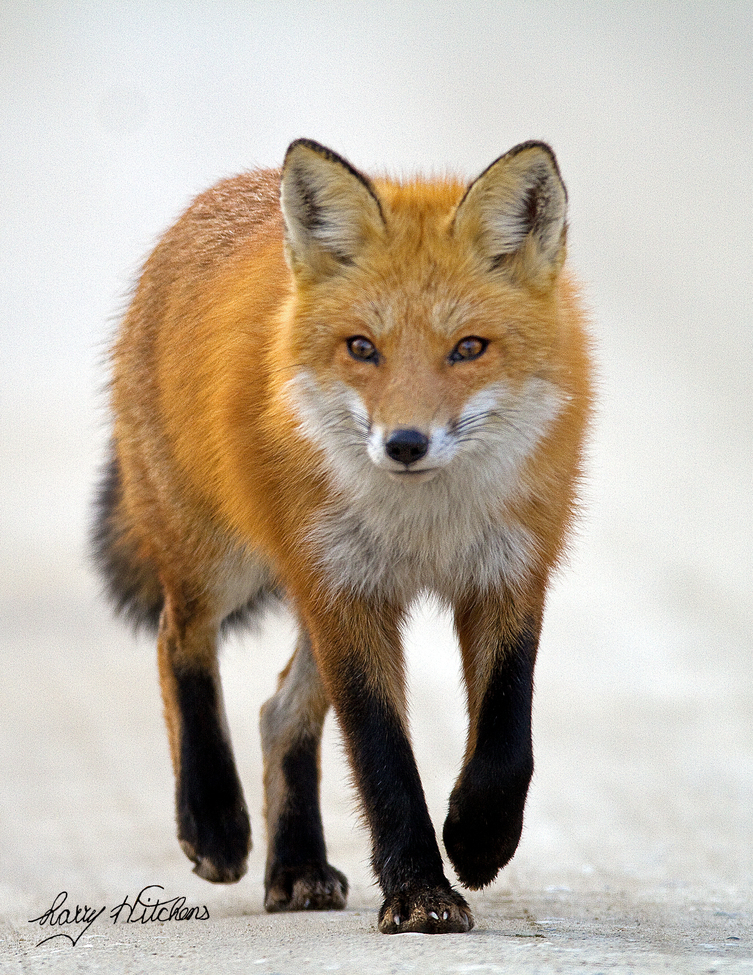red fox, red fox photos, red fox images, wildlife in the US, united states wildlife, united states wildlife photos, us wildlife photos, wildlife in delaware, foxes in delaware