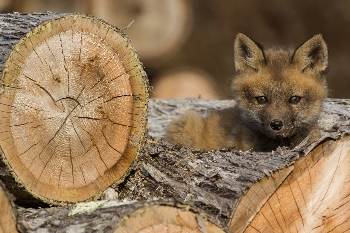 red fox, red fox photos, red fox images, wildlife in Canada, Canada wildlife, Canada wildlife photos, Quebec wildlife photos, wildlife in Quebec, foxes in Canada