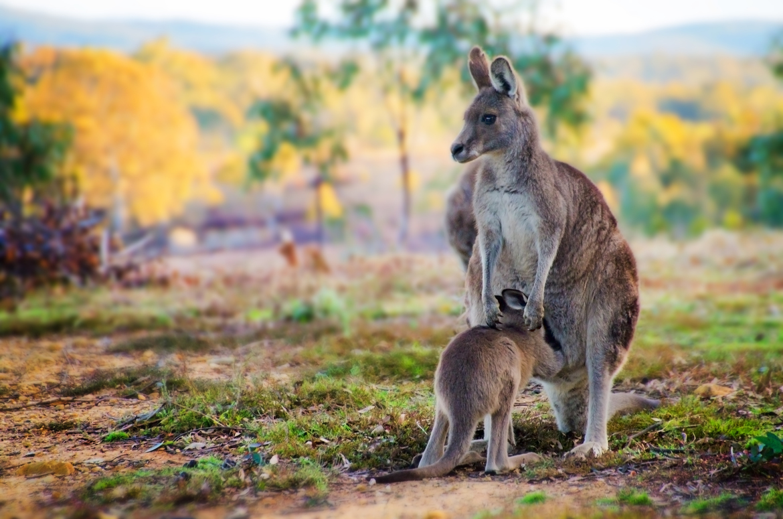 kangaroo, kangaroo photos, eastern grey kangaroo, joey photos, baby kangaroo, Australia wildlife, Australia wildlife sanctuaries, Braidwood, Tiandi Sanctuary