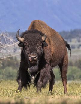 buffalo, bison, buffalo photos, bison photos, grand teton national park, Grand Teton wildlife, Grand Teton national park photos, Grand Teton wildlife photos, american bison, american wildlife, american wildlife photos