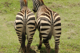 zebra, zebra images, zebra photos, kenya wildlife, kenya wildlife images, kenya wildlife photos, zebras in kenya, african safari wildlife, kenya safari wildlife, kenya safari wildlife photos