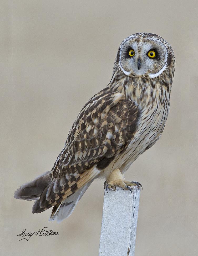 owl, owl photos, short eared owl, short eared owl photos, united states wildlife, united states wildlife photos, birds in maryland, owls in maryland, owls in talbot county