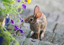 rabbit, rabbit photos, rabbit pictures, Virginia wildlife, Virginia rabbit, bunny, bunny photos, bunny pictures, rabbit eating flower, bunny eating flower