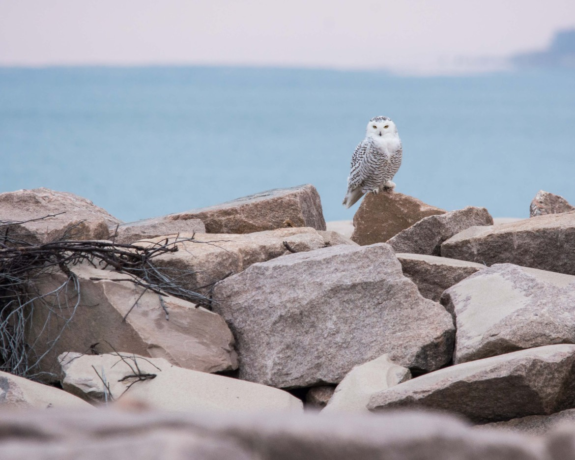 snowy owl, snowy owl photos, owl, owl photos, birds in the US, owls in the US, snowy owls in the US, Rhode Island wildlife, Rhode Island birds, Charleston Breachway