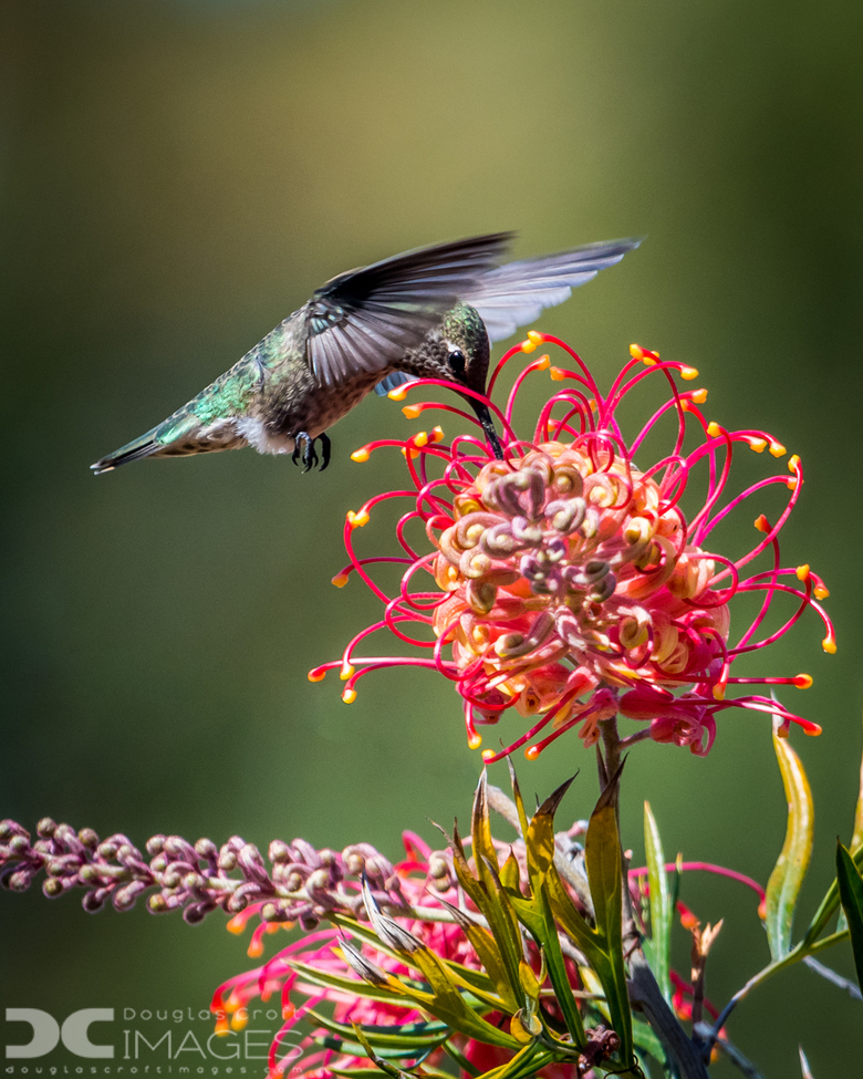 hummingbird, humming bird images, humming bird photos, united states wildlife, united states birds, american hummingbirds, California birds, California wildlife, UC Santa Cruz Arboretum, Anna's Hummingbird
