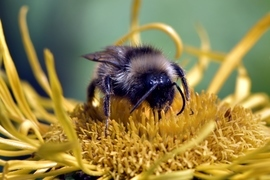 bumble bee, bumble bee photos, bees, bee photos, bees in Germany, bees in Europe, German wildlife, Wuppertal