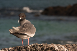 swallow tailed gull, swallow tailed gull photos, birds in the galapagos, galapagos wildlife, Genovese Island, wildlife on Genovese Island