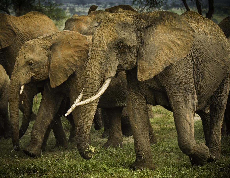 elephant, african elephant, elephant photos, african elephant photos, Tanzania wildlife, Tanzania wildlife photos, africa wildlife photos, africa wildlife, african safari photos, Tarangire National Park wildlife, Tarangire National Park wildlife photos