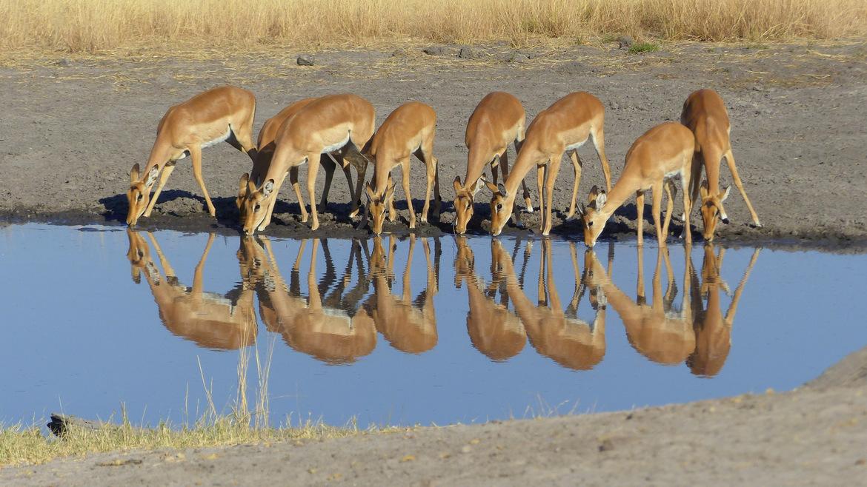 impala, impala photos, Botswana wildlife, Okavango Delta, Okavango wildlife, impala in Botswana, antelope, antelope photos, African antelope, antelope in Botswana; antelope in the Okavango