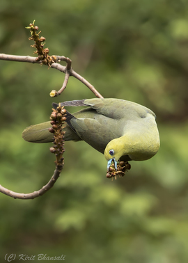 Wedge Tailed Green Pigeon, Wedge Tailed Green Pigeon photos, Wedge Tailed Green Pigeon in India, India birds, India wildlife,  Sattal, Sattal wildlife, Sattal birds