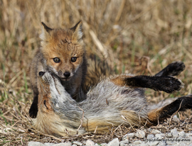 red fox, red fox photos, red fox images, wildlife in the US, united states wildlife, united states wildlife photos, us wildlife photos, wildlife in delaware, foxes in delaware, Bombay Hook Wildlife Refuge