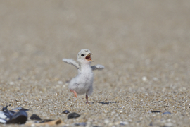 least tern, least tern photos, least tern chick, baby bird photos, New Jersey wildlife, Jersey shore birds, Belmar, birds in the US