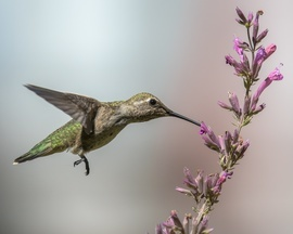 hummingbird, hummingbird images, humming ird photos, united states wildlife, united states birds, american hummingbirds, Nevada birds, Nevada wildlife