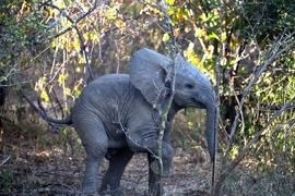 elephant, elephant photos, baby elephant, baby elephant photos, Zambia wildlife, Zambia safari, African wildlife, African elephant, African safari