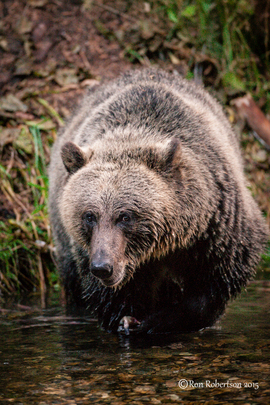 brown bear, grizzly bear, brown bear photos, grizzly bear images, grizzly fishing, canadian bears, canadian wildlife, canadian wildlife photos, Kootenay Lake, Kootenay Lake photos, british columbia wildife, british columbia wildlife photos
