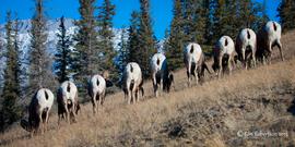 big horn sheep, jasper national park, big horn sheep photos, big horn sheep images, jasper national park wildlife photos, Canada wildlife, Canada wildlife photos