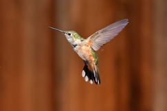 hummingbird, humming bird images, humming bird photos, united states wildlife, united states birds, american hummingbirds, Colorado birds, Colorado wildlife