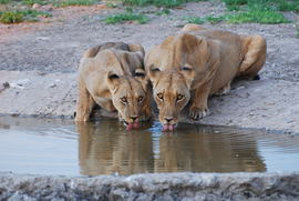 lion, lion photos, lioness, lioness photos, watering hole, water hole, Africa wildlife, Botswana wildlife, Kalahari Game Reserve, Kalahari wildlife, lions at a watering hole, Botswana safari, African safari