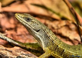 alligator lizard, alligator lizard photos, california wildlife, united states wildlife, california reptiles, united states reptiles