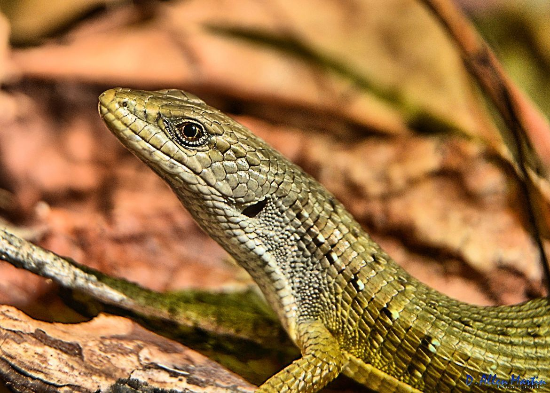 alligator lizard, alligator lizard photos, california wildlife, united states wildlife, california reptiles, united states reptiles