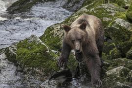 brown bear, grizzly bear, brown bear photos, grizzly bear images, grizzly cub, brown bear cub, Tongass National Forest, Tongas National Forest wildlife, united states wildlife photos, Alaska wildlife, Alaska bears, Alaska photos