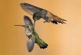 Grid rufous hummingbird