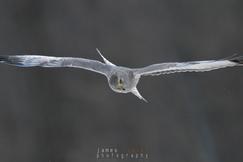 northern harrier, northern harrier photos, Ontario wildlife, Ontario birding, Canada wildlife, Canada birds, birding in Canada